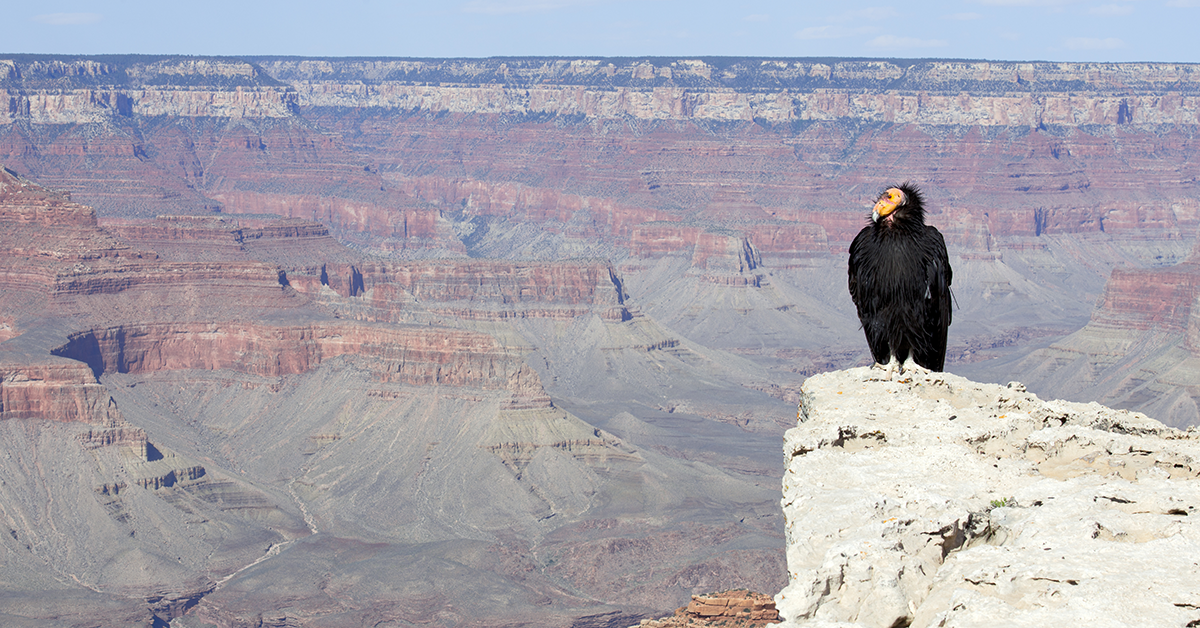 How Lead Ammunition Is Hurting People And The Critically Endangered California Condor