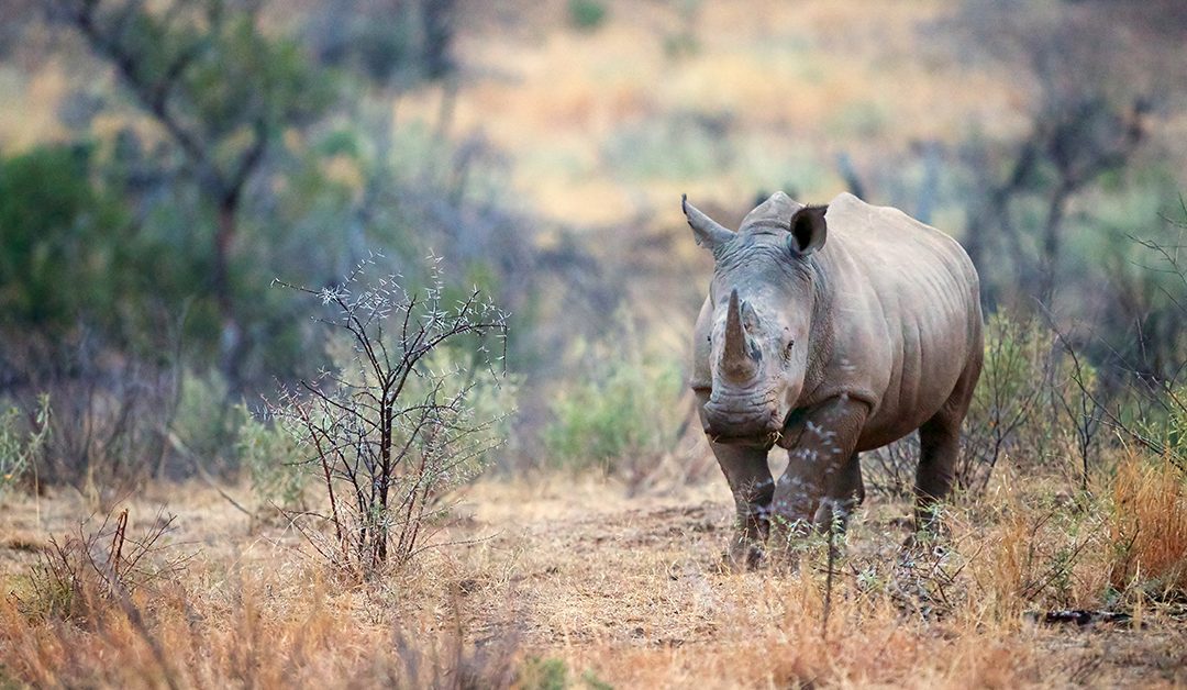 Why Rhinos Are Disappearing And What You Can Do About It {Interview With Conservationist}